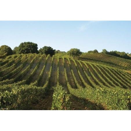 Rosé wine - BOMARZO ROSATO TUSCANY IGT 2019 - Winery Grillesino